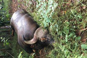 Phát hiện thi thể bò tót nặng 800kg tại Đồng Nai