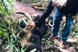 Bò tót 800kg trong khu bảo tồn thiên nhiên chết bất thường