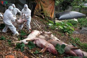 Lai Châu tiêu hủy gần 9.000 con lợn nhiễm bệnh dịch tả lợn Châu Phi