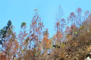 Hàng trăm ha rừng ở Đức Phổ chết cháy do nắng hạn