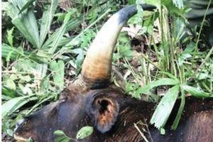 Đồng Nai: Đã tìm ra nguyên nhân cá thể bò tót gần 800kg bị chết