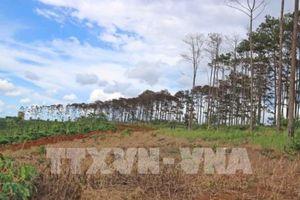 Lâm Đồng: Tái diễn nạn 'bức tử' rừng thông quy mô lớn