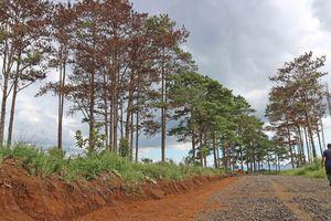 Rừng thông Bảo Lâm của tỉnh Lâm Đồng bị 'bức tử' hàng loạt