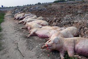 Mất hàng triệu con lợn vì dịch tả châu Phi, thiệt hại quá lớn, ngân sách cạn tiền