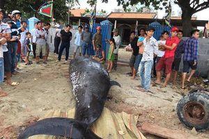 Dùng xe cẩu đưa xác cá voi hơn hai tấn vào bờ