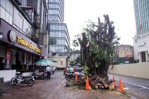 Đánh chuyển hàng cây xanh trên phố Trần Hưng Đạo, sưa đỏ quý hiếm chờ di dời
