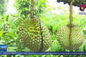Lâm Đồng: Mưa lớn làm rụng hơn 100 tấn sầu riêng