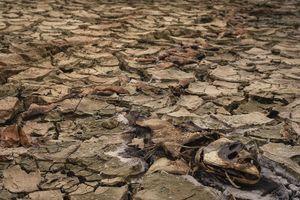 Cây lương thực khô cháy, chết dần vì hạn hán kéo dài ở khu vực Trung Trung bộ
