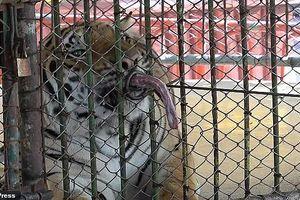 Rùng mình trước hình ảnh các con thú bị ngược đãi tại Thái Lan