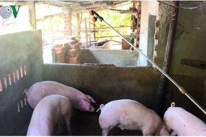 Hải Phòng: Mới có 9 hộ dân được nhận hỗ trợ do dịch tả lợn Châu Phi