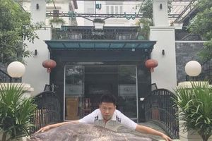 Phát hoảng cá leo 'to chưa từng thấy' xuất hiện ở vùng đất Kinh Bắc