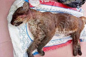 Điều ít ai hay về loài beo lửa cực hiếm ở Việt Nam
