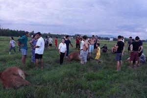 Sét đánh chết 4 con bò của một hộ dân