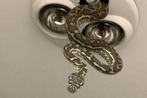 Trăn 'khủng' treo lơ lửng trên trần nhà tắm khiến chủ nhà phát hoảng