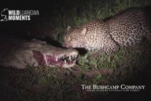 Báo hoa mai liều lĩnh cướp thức ăn trong miệng cá sấu