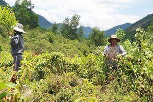 Đà Nẵng: Địa phương giao 'nhầm' đất rừng, dân chịu khổ