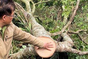 Ngang nhiên triệt hạ rừng phòng hộ chỉ cách Đà Lạt 5 km