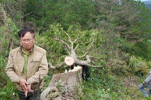Bắt quả tang 11 người phá rừng phòng hộ tại Đà Lạt