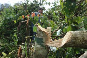 Bắt quả tang 11 đối tượng phá rừng phòng hộ tại thành phố Đà Lạt