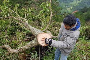Bắt giữ 12 người phá rừng phòng hộ tại Đà Lạt