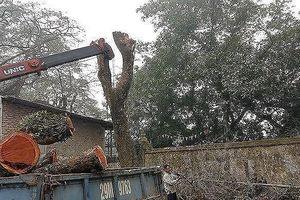 Sắp mở lại phiên đấu giá lô gỗ sưa 'trăm tỷ' ở Hà Nội