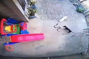 Hai chú chó liều mình chiến đấu với rắn độc để bảo vệ cô chủ nhỏ