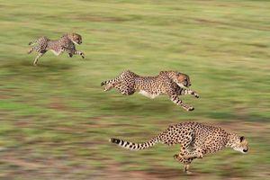 Bí mật cơ thể giúp báo săn tăng tốc từ 0 đến 97 km/h chỉ trong 3 giây