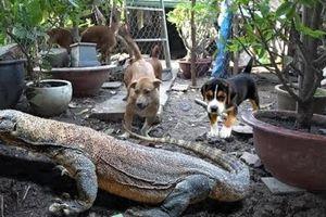 Kỳ đà xé nát con chó và tấn công hai người lao đến cứu ở Australia