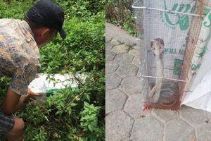 Kinh hãi cảnh bẫy rắn hổ mang dài hàng mét, từng tấn công người đi đường gần ngay sát chung cư ở Hà Nội