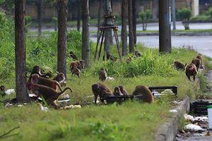 Cho khỉ ăn và những hệ lụy không ngờ khi tham quan bán đảo Sơn Trà