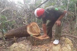 Bắt quả tang nhóm đối tượng chặt gỗ rừng trái phép ở Đác Lắc