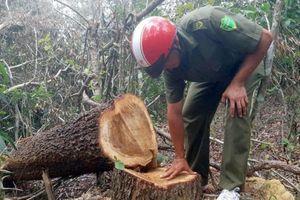 Tạm giữ 4 đối tượng cưa trộm 50m3 gỗ ở Đắk Lắk