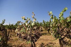 Italy cảnh báo thiệt hại trong ngành nông nghiệp do biến đổi khí hậu