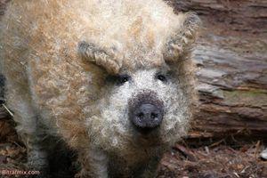 'Báu vật quốc gia' của Hungary: Giống lợn Mangalica lông xoăn nổi tiếng
