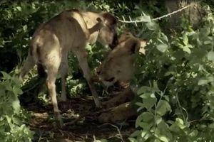 Khó tin trước 'tình mẫu tử' giữa sư tử và linh dương đầu bò con