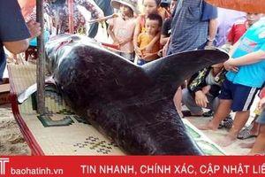 Cá voi dài hơn 2m, nặng 150kg trôi dạt vào bờ biển Hà Tĩnh