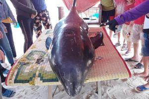 Người dân dựng lán cấp cứu cá voi nặng 150kg dạt vào bờ biển