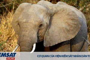 Úc sẽ cấm buôn bán nội địa ngà voi và sừng tê giác