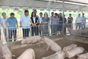 Sử dụng chế phẩm sinh học: Ngăn chặn dịch tả lợn châu Phi
