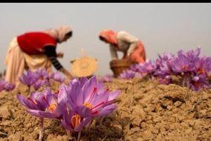 Thách thức đối với lĩnh vực xuất khẩu saffron của Iran