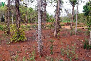 Người trồng tiêu Quảng Trị có nguy cơ trắng tay vì hạn hán