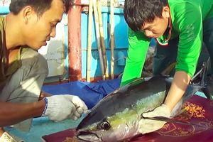 'Giải cứu' nghề đánh bắt cá ngừ đại dương