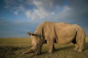 Thụ tinh nhân tạo thành công cho 2 con tê giác trắng cuối cùng