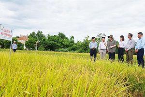 Quảng Trị: Lúa hữu cơ rộng đầu ra