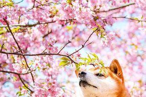 Ngắm giống chó được chọn đóng 'Cậu Vàng' khoe sắc bên hoa