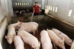 'Dịch tả châu Phi giảm không phải do… hết lợn'