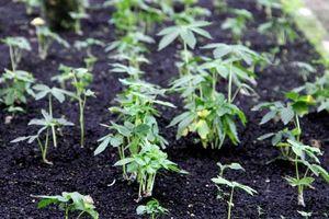 Ngăn chặn tình trạng khai thác loài cây giống sâm Ngọc Linh