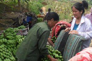 Tin NN Tây Bắc: Lào Cai thận trọng khi mở rộng diện tích trồng chuối