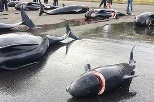 Ám ảnh cảnh cá voi mang thai bị giết hại dã man