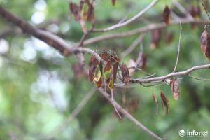 Hà Nội: Hàng sưa đỏ hơn 30 năm tuổi quý hiếm bất ngờ rụng lá chết dần